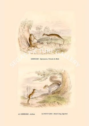 SARIGUES - Opossums, Female & Male, LA GERBOISE - Jerboa, LE PETIT GRIS - Small Grey Squirrel